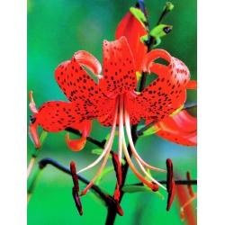 Lilia tygrysia - Red Tiger - 1 cebula
