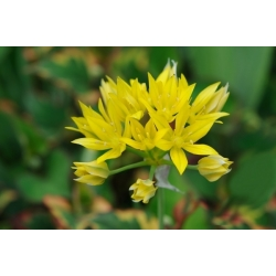 Allium moly - Czosnek złocisty - 20 cebulek