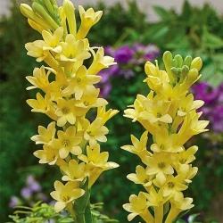 Polianthes tuberosa - Tuberoza wonna Yellow Baby żółta  - 1 cebula
