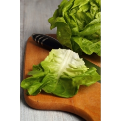 Sałata głowiasta masłowa do uprawy w szklarni – Safir - 450 nasion