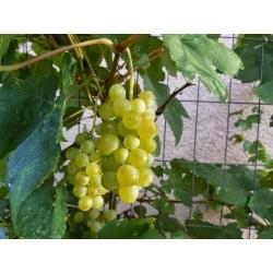 Winogrona bezpestkowe jasne, winorośl - Himrod - sadzonka