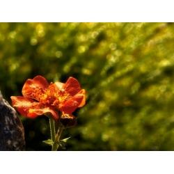 Kuklik chilijski - 135 nasion