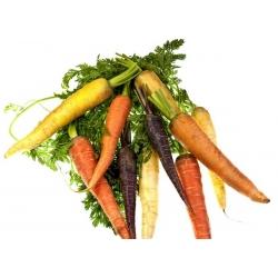 Kolorowa marchew - mieszanka nasion marchwi w różnych kolorach