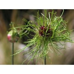 Czosnek Hair - włochate kwiaty - 5 cebulek