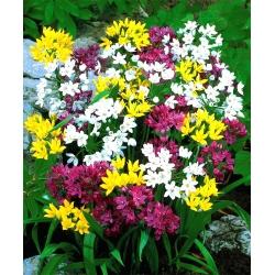 Czosnek - Allium - mieszanka - 20 cebulek
