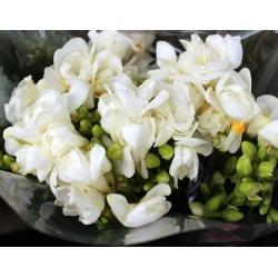 Frezja pełna o kwiatach białych - White - 10 cebulek