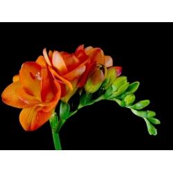Frezja pełna o kwiatach czerwonych - Red - 10 cebulek