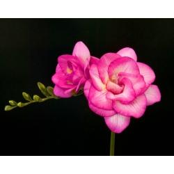 Frezja pełna o kwiatach różowych - Pink - 10 cebulek