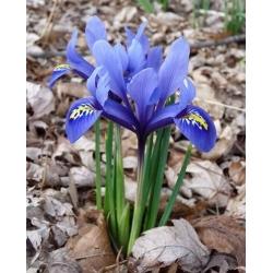 Irys żyłkowany - Iris reticulata - 10 sztuk