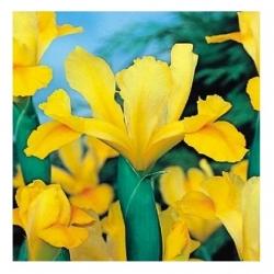 Irys holenderski - Golden Harvest - 10 sztuk
