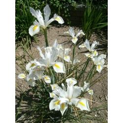 Irys holenderski White Excelsior - 10 cebulek