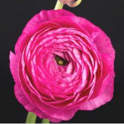 Jaskier azjatycki różowy - 10 cebulek