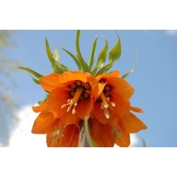 Korona Cesarska pomarańczowa - 1 cebula