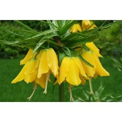 Korona cesarska żółta - Lutea Maxima - 1 cebula