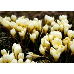 Krokus Cream Beauty - 10 cebulek