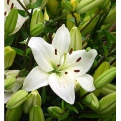 Lilia azjatycka biała - White - 1 cebula