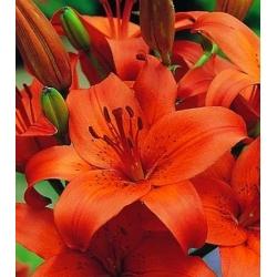 Lilia azjatycka pomarańczowa - Orange - 1 cebula