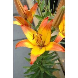 Lilia azjatycka żółto-pomarańczowa - Linda - 1 cebula