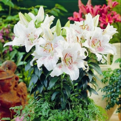 Lilia orientalna miniaturowa Muscadet - 1 cebula
