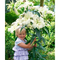 Lilia drzewiasta OT Pretty Woman - 1 cebula