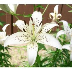 Lilia tygrysia - White Tiger - 1 cebula