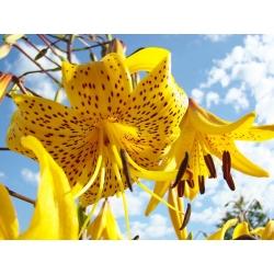 Lilia tygrysia - Yellow Tiger - 1 cebula