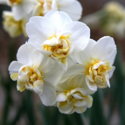 Narcyz pachnący Cheerfulness - 5 cebulek