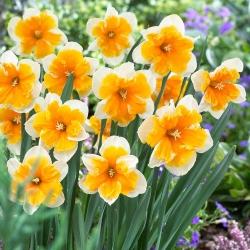 Narcyz Orangery - opak. 5 cebulek