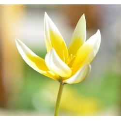 Tulipan botaniczny - niski - kolorowa mieszanka - 5 cebul