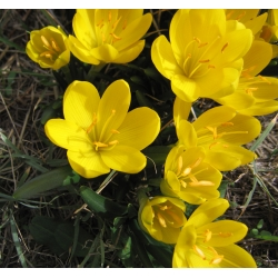 Sternbergia - Żółty zimowit - 1 cebula