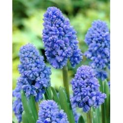 Szafirek Muscari Blue Spike - 10 cebulek
