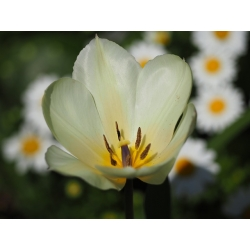 Tulipan niski White Purissima - 5 cebulek