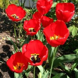 Tulipan Apeldoorn - 5 cebulek