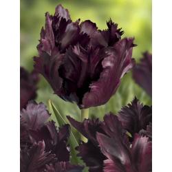 Tulipan Black Parrot - 5 cebulek