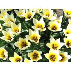 Tulipan niski Fostera - Concerto - 5 cebulek