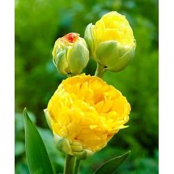 Tulipan lodowy Beauty od Apeldorn - 5 cebulek