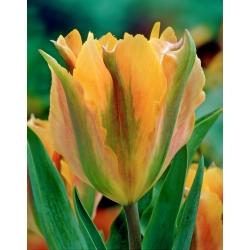 Tulipan Golden Artist - 5 cebulek