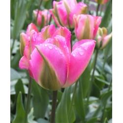 Tulipan Groenland - 5 cebulek