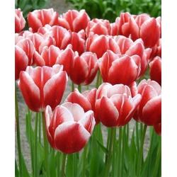 Tulipan Leen van der Mark - 5 cebulek