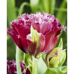 Tulipan fryzowany, strzępiasty Mascotte - 5 cebulek