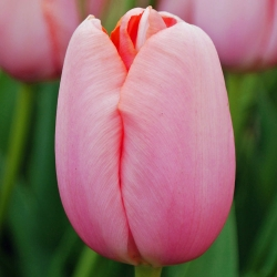 Tulipan Menton - 5 cebulek