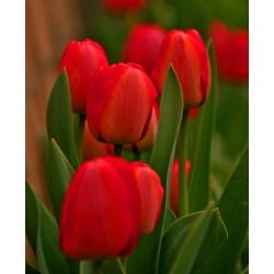 Tulipan czerwony Red - 50 cebulek - paczka XXL!