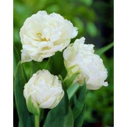 Tulipan Mount Tacoma - 5 cebulek