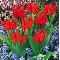 Tulipan botaniczny - Tubergen's Variety - 5 cebulek