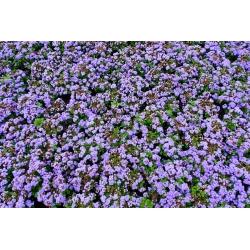 Żeniszek meksykański niebieski - 1200 nasion