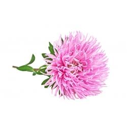 Aster chiński igiełkowy różowy - 500 nasion