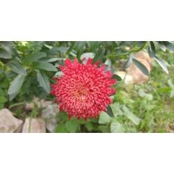 Aster chiński książęcy czerwony - 500 nasion