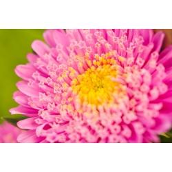 Aster chiński książęcy różowy - 500 nasion