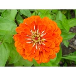 Cynia wytworna daliowa Orange King - 120 nasion