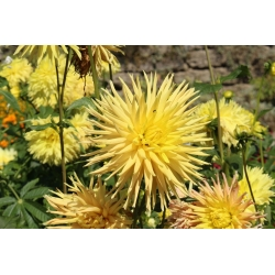 Dalia kaktusowa - mieszanka - 120 nasion
